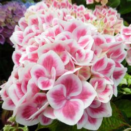 Hydrangea macrophylla Red Ace (H)